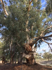 River gum on the Darling River at Evandale out of Pomona NSW