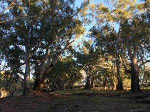 River gums on the Darling River at Evandale